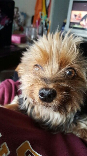 Cutest yorkie you will ever see