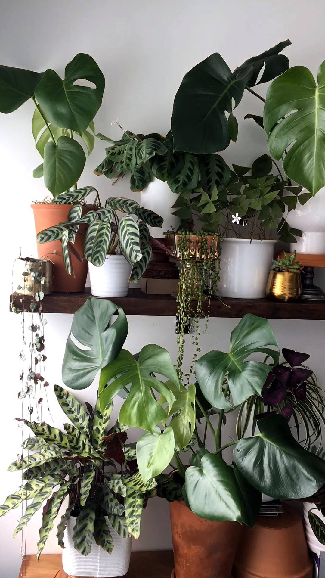 Monstera plant unfurls new leaves - time-lapse video