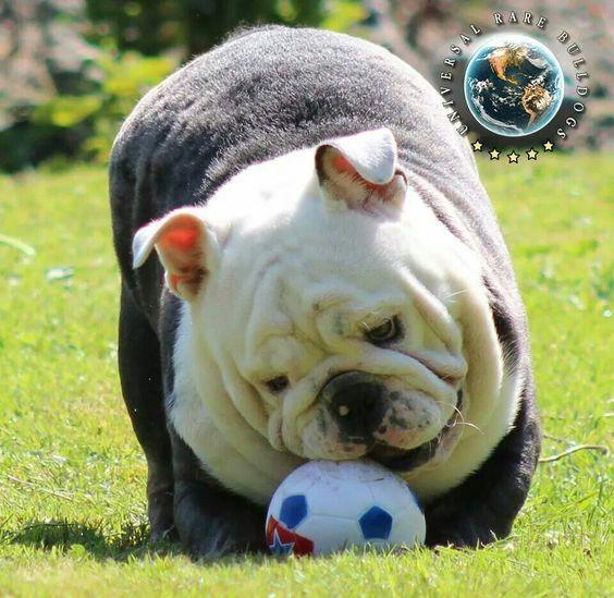 Most Inspiring English Bulldog Chubby Adorable Dog - 55da9518e399fef542247d8cce465cdd  Collection_32218  .jpg