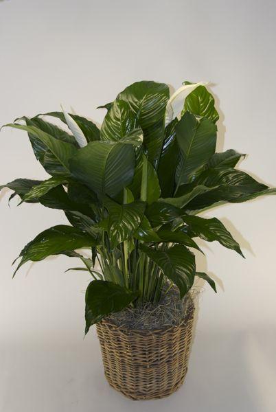 Superieur Houstonu0027s Online Indoor Plant U0026 Pot Store   Closet Plant In Rattan Basket