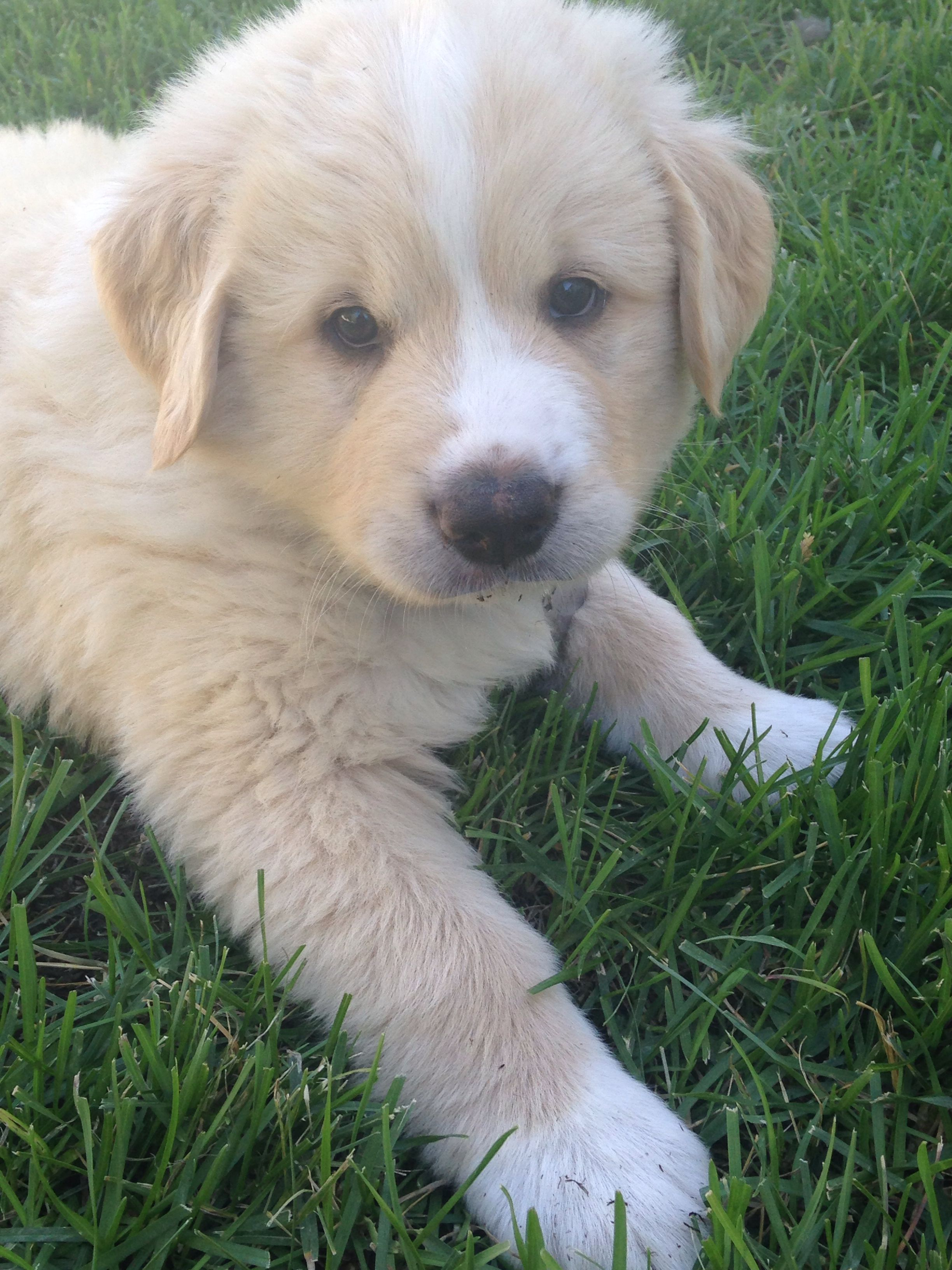 My Beautiful Great Pyrenees Lab Mix At 6 Weeks Dog Mixes