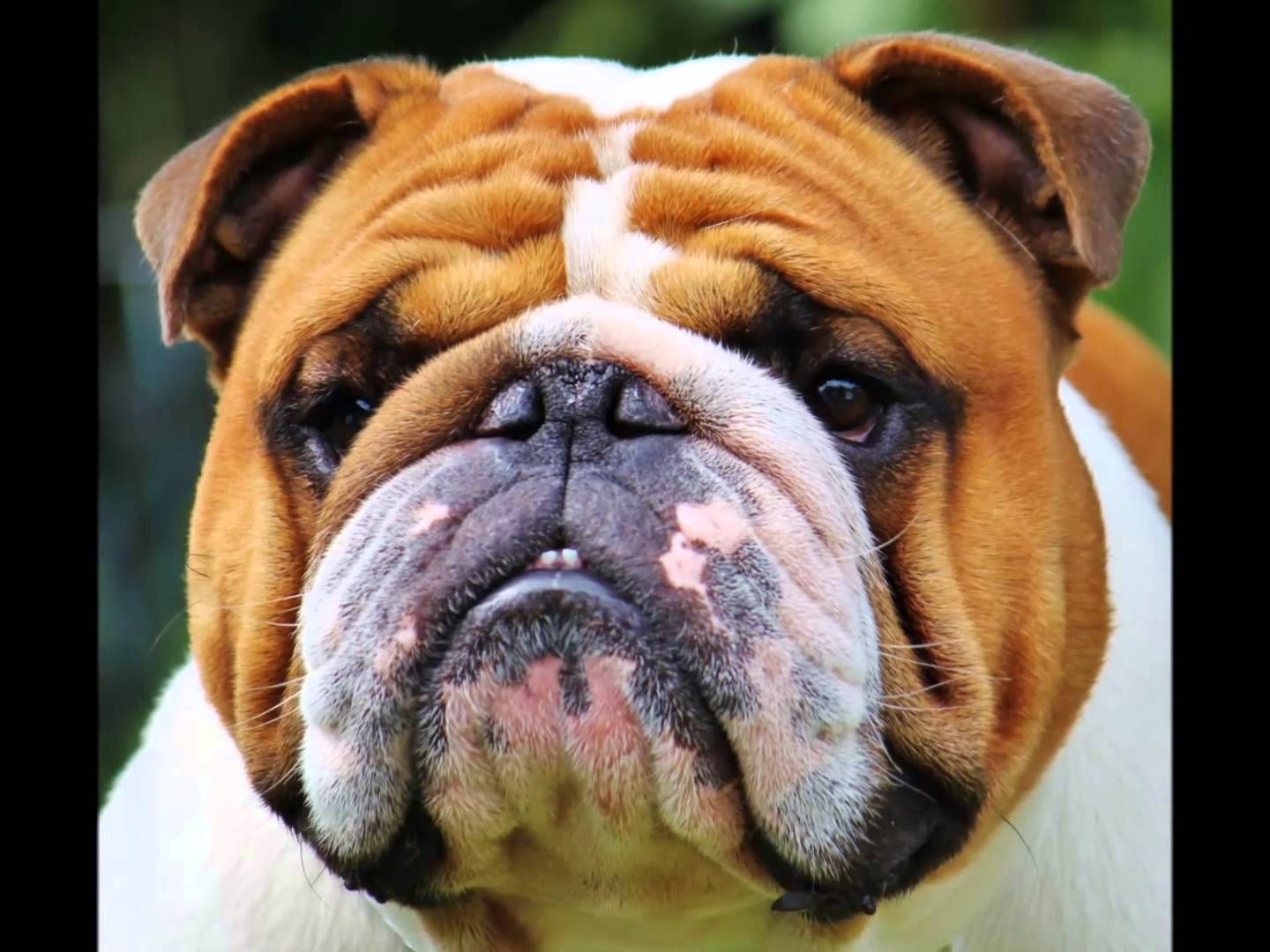 Champion English Bulldog Stud Service Www Primobulldogs Webs Com