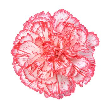 Wholesale Bi Color White Red Carnations Carnations Carnation Flower Red Carnation