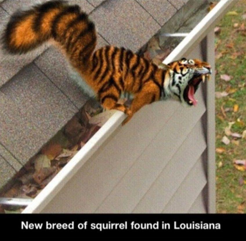 Tiger squirl
