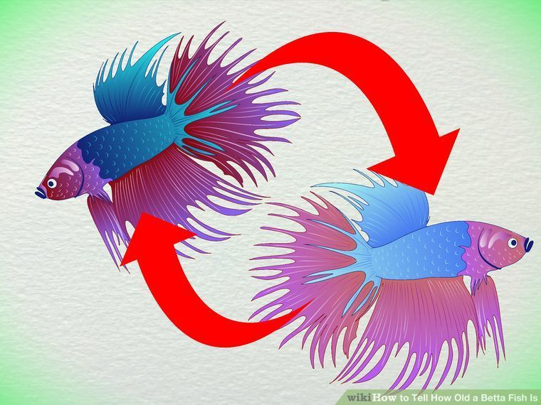 How to Tell How Old a Betta Fish Is: 5 Steps (with Pictures)