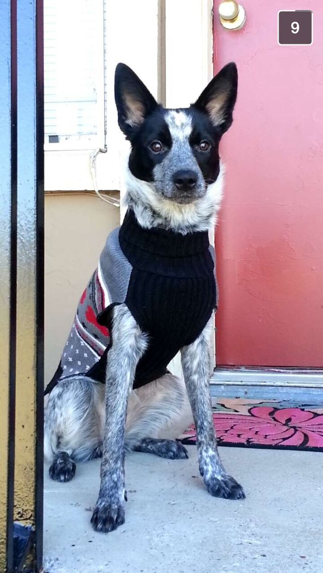 Blue Heeler And Border Collie Mix Addi Sweater Winter She S