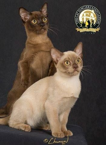 The Burmese breed first came to America in 1930 when Dr