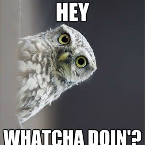 Funny Meme Whatcha Doin Funny Owl Memes Funny Owls Funny Birds