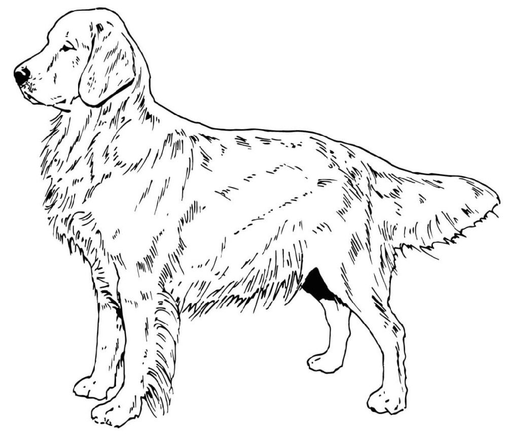 Golden Retriever Coloring Pages Dog coloring page