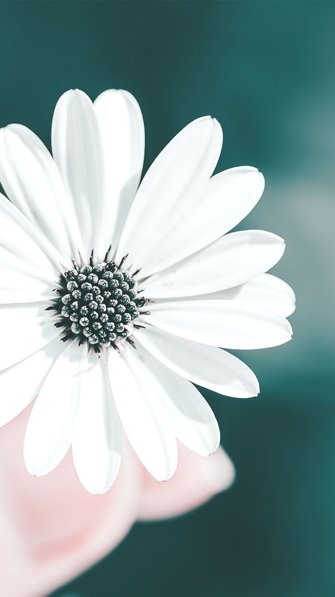 White Flower In Hands Iphone Wallpaper