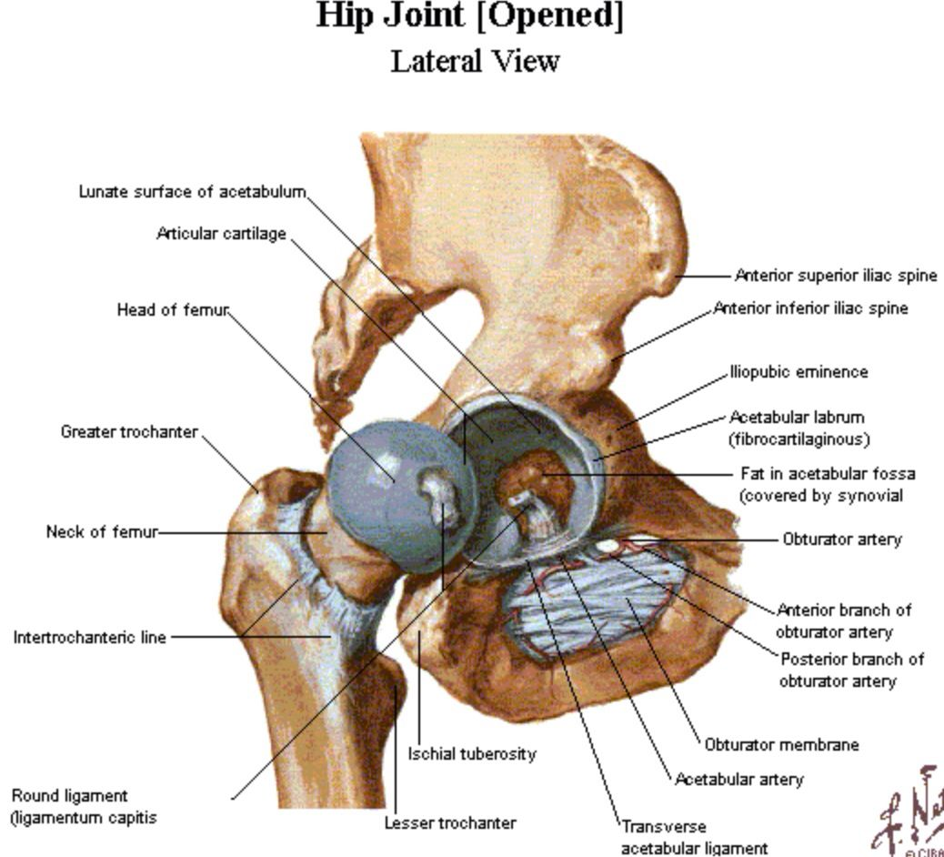 Lateral aspect of the hip - Netter | Anatomy | Pinterest | Anatomy