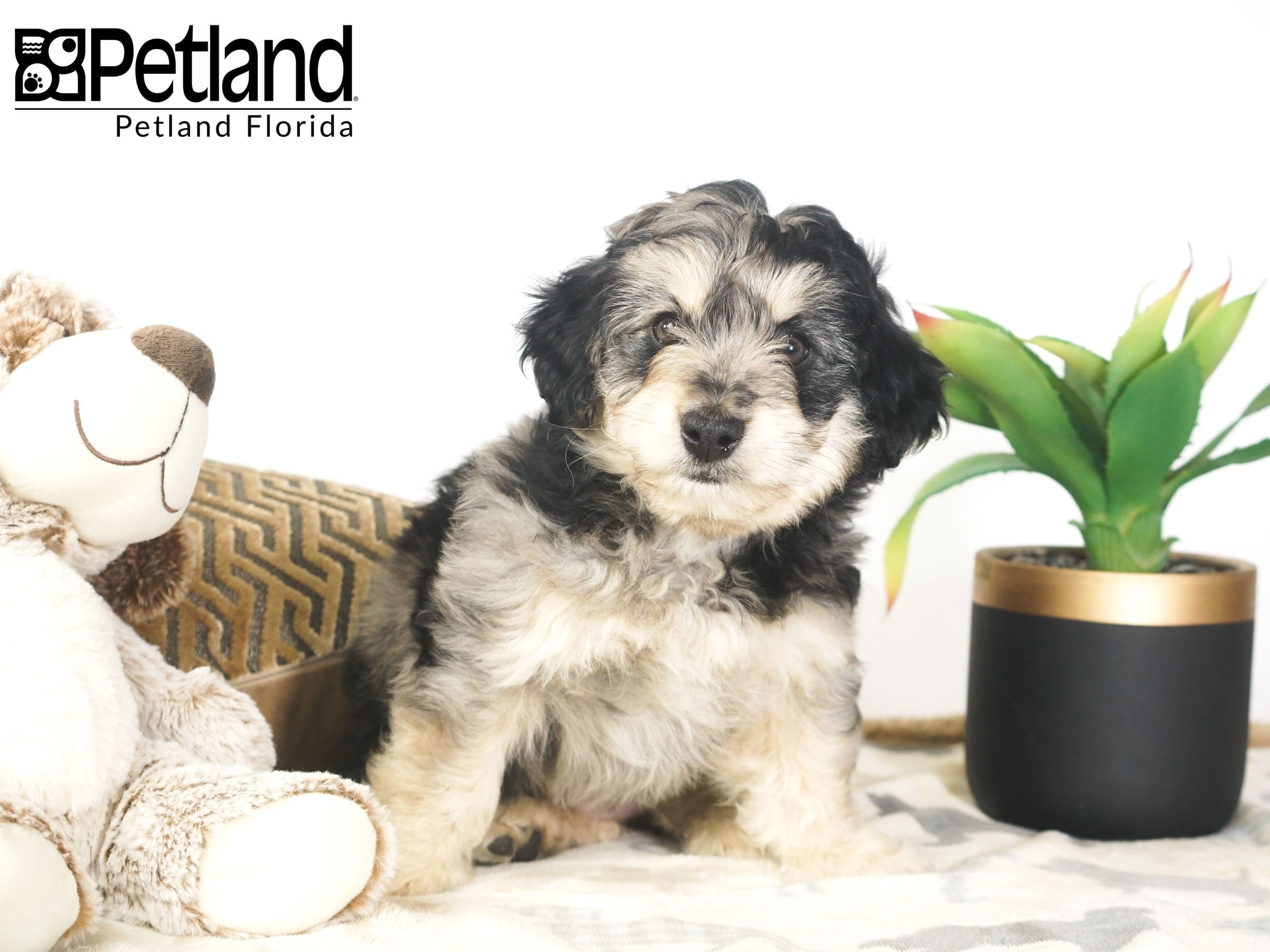 Petland Florida Has Cavapoo Puppies For Sale Check Out All Our Available Puppies Cavapoo Petlandla Cavapoo Puppies Cavapoo Puppies For Sale Puppy Friends
