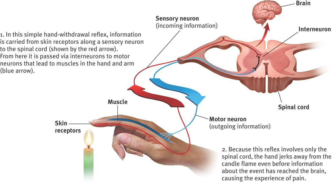 Diagram of skin receptor notifying sensory neuron of flame and motor diagram of skin receptor notifying sensory neuron of flame and motor neuron notifying muscle to move away this week in psy class ccuart Images