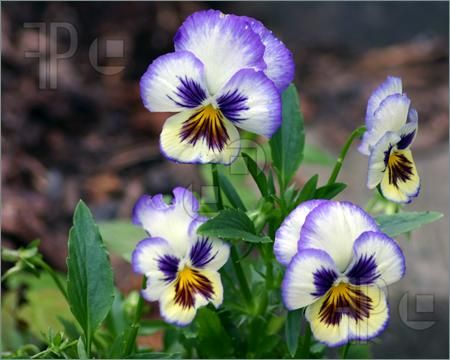 Pansy Flowers Picture Pansies Flowers Pansies Purple Pansy