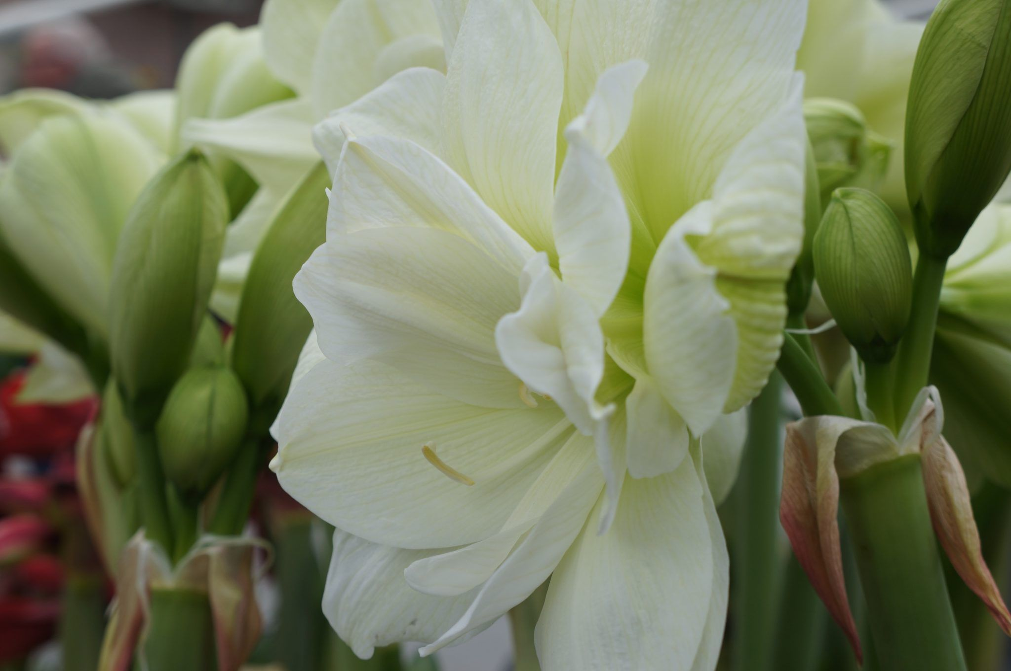 A Green Core And A Chic White, Thatu0027s The Amaryllis Marilyn.