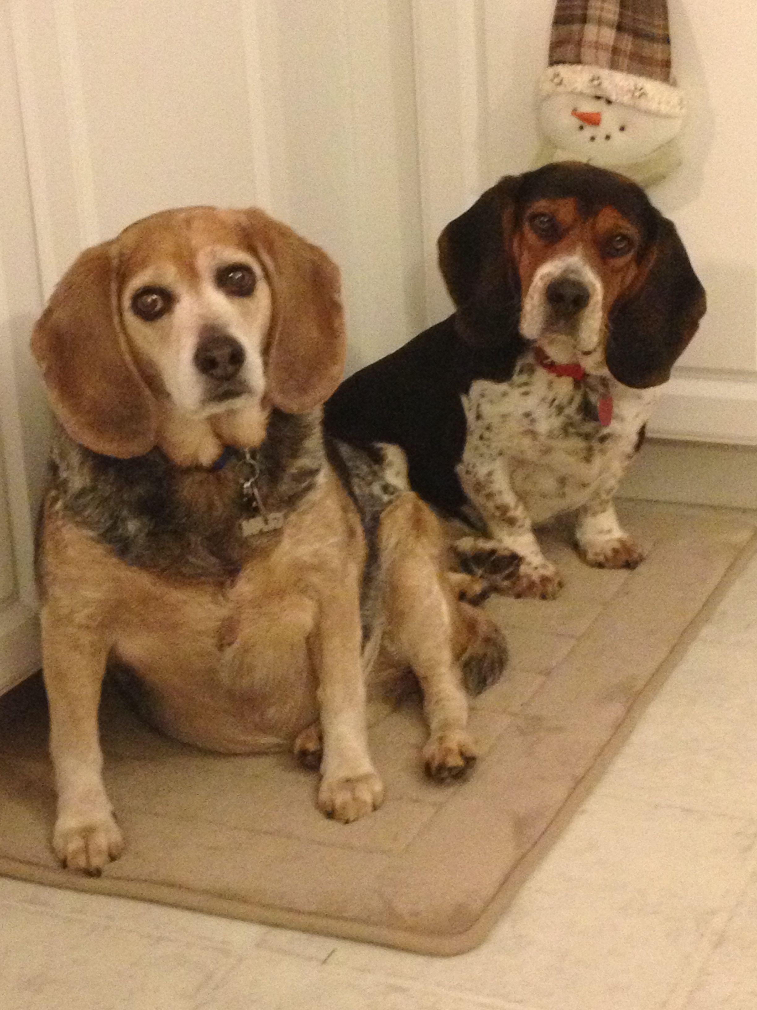 My Babies Hound Dog Beagle Mix Dogs