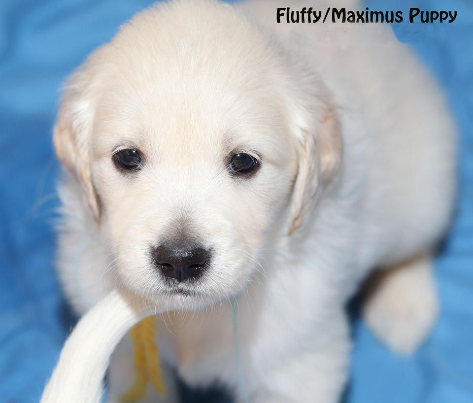 White English Cream Golden Retriever Pups Fl Az Ca Ma Tx Nj Ny Pa Ct Ri De With Images Labrador Retriever Puppies Golden Retriever Kittens And Puppies