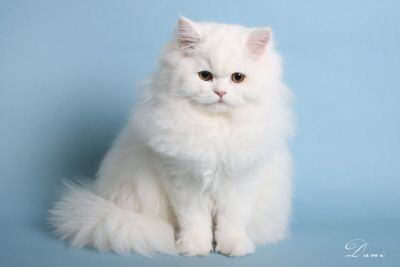 Train Your Persian Cats To Go Outside Persian Cat Persian Cat