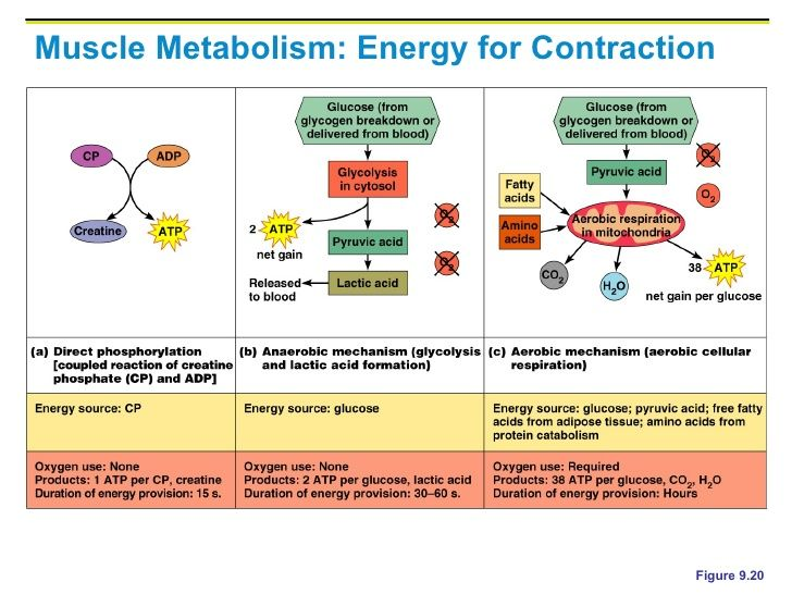 muscle contraction energy system - google search | pe | pinterest, Muscles