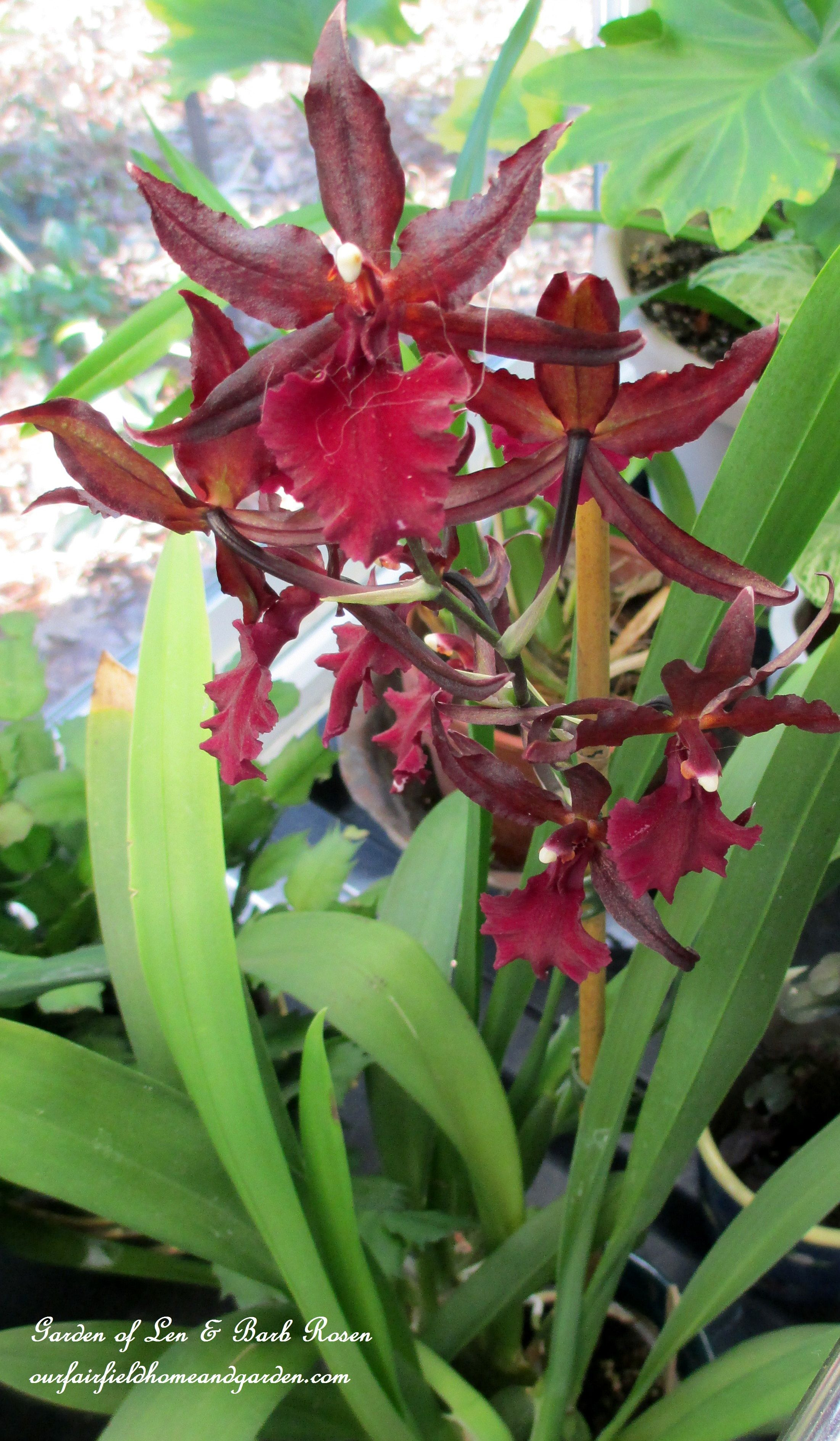 Img our fairfield home u garden beautiful orchids