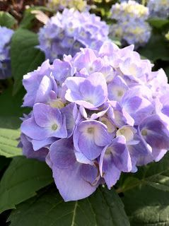 Day 90 There Remains Some Debate Over The Hydrangea S Symbolism With Some Connecting It To Vanity And Boastfulness Flower Meanings Language Of Flowers Hydrangea Flower