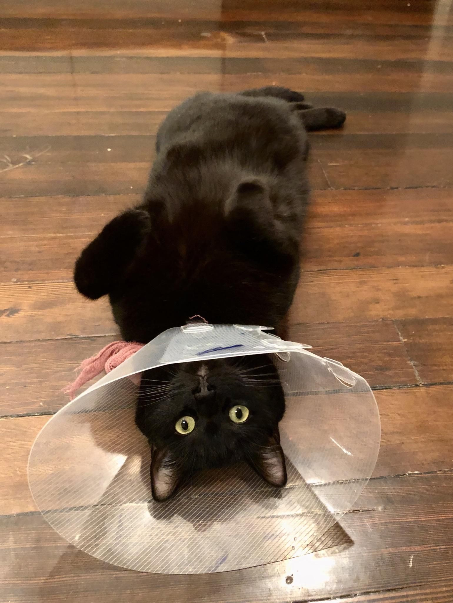 Poor Junier Got The Cone Of Shame In 2020 Cute Animals Cone Of Shame Cat Clothes