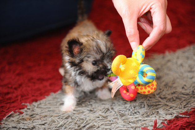 Britain S Smallest Dog Tyson The Pup Is Just Four Inches Tall And Weighs 11 Ounces Dogs Small Dogs Super Cute Animals