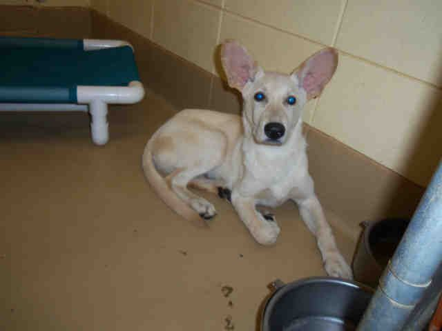 Alabama Urgent Snoop Id A412910 Is A Siberian Husky German