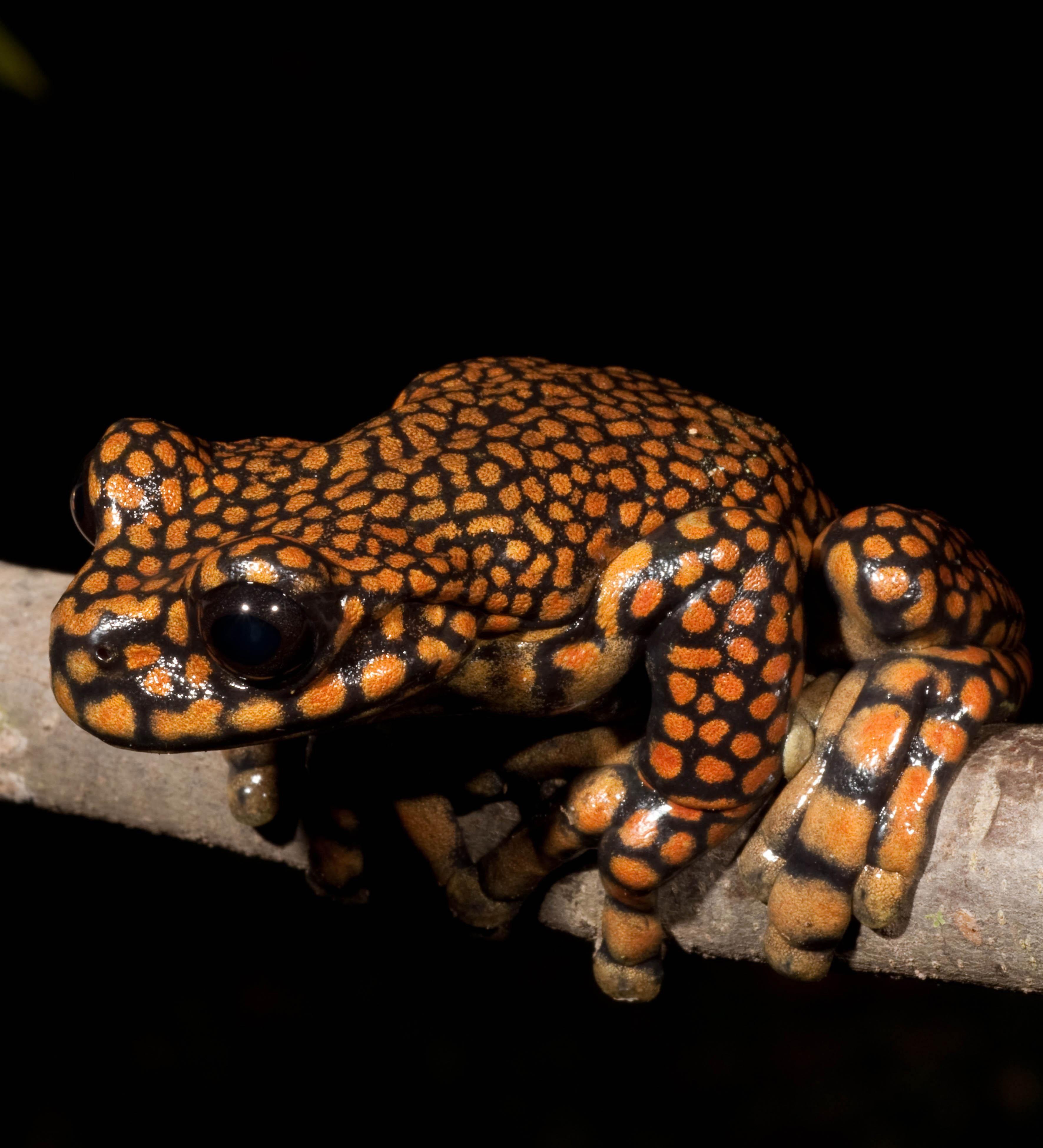 Una granota arboricola de la especie Hyloscirtus princecharlesi ...