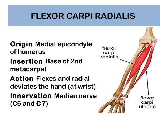 flexor carpi radialis origin and insertion   Anatomy, Physiology ...