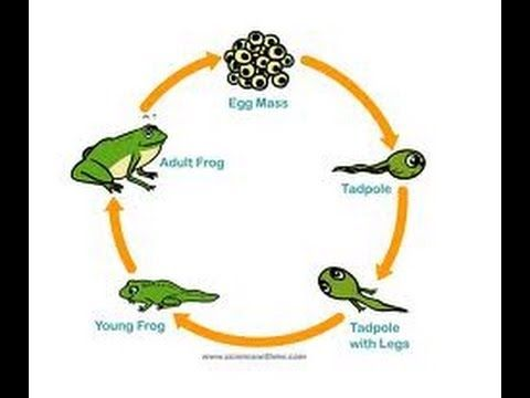 Frog Life Cycle Video For Kids Science For Kids By