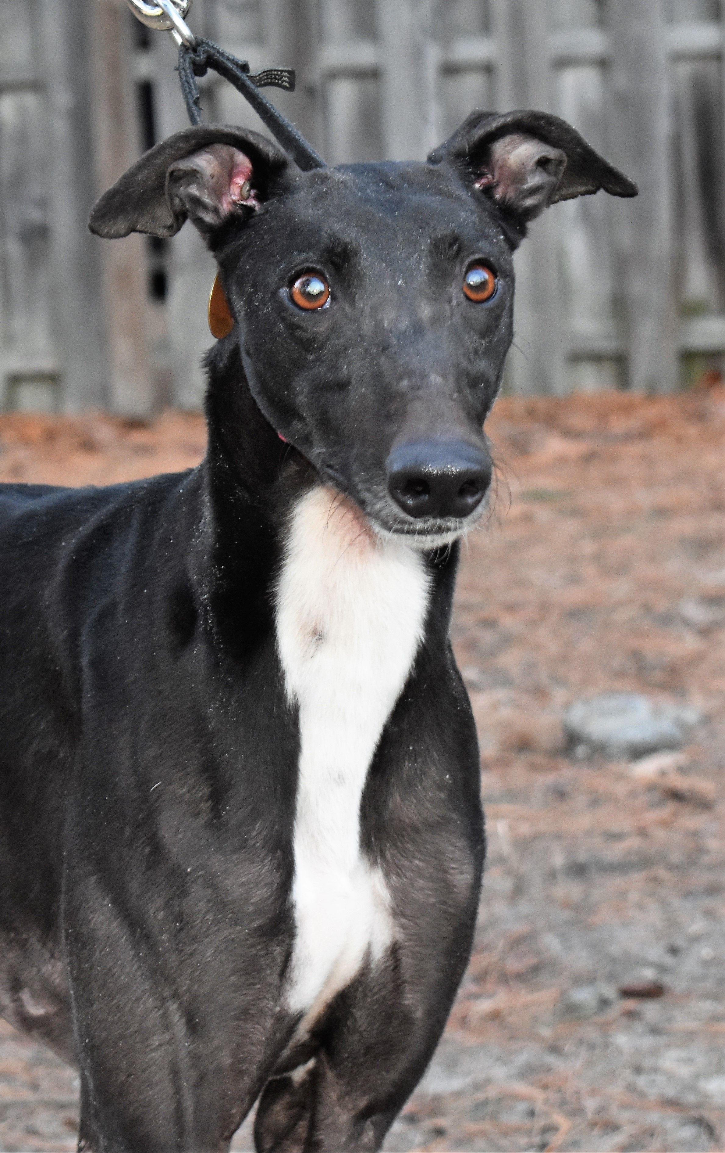 Greyhound dog for Adoption in Cherry Hill, NJ. ADN804892