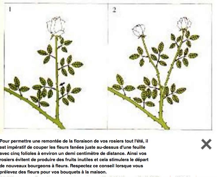 Taille pour stimuler la floraison rep rez sur sa tige le premier groupe intact de 5 feuilles - Taille des rosiers apres floraison ...