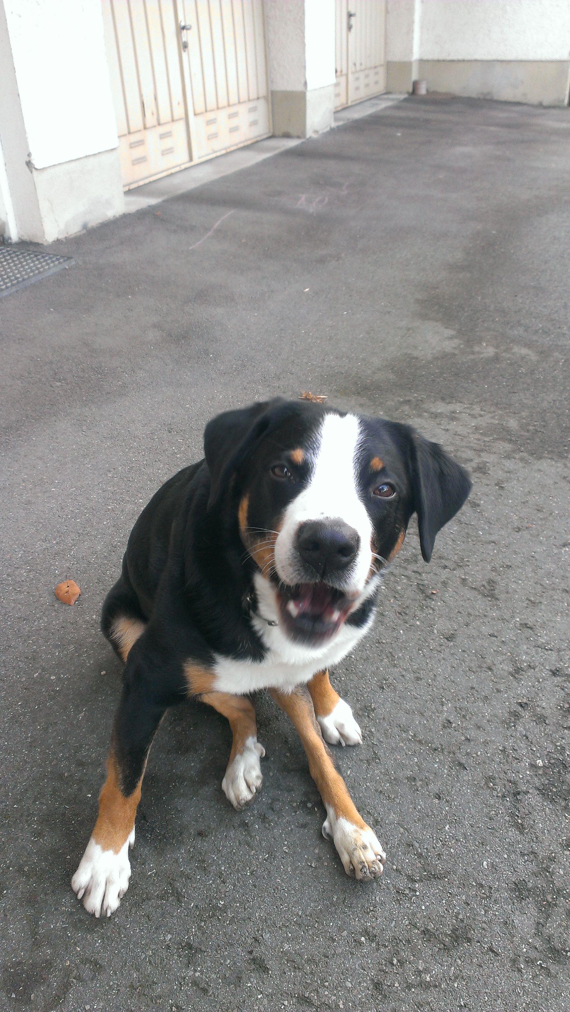 Lenny Appenzeller Sennenhund Pawshake Freimann Sennenhund