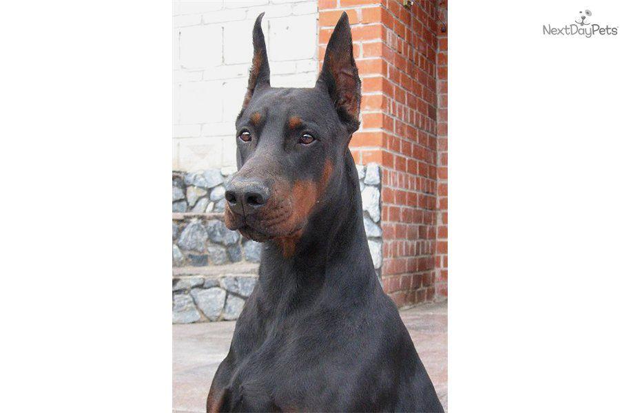 Doberman Pinscher Puppy For Sale Near Dothan Alabama 063ed0f7