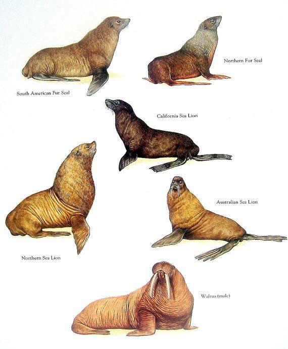 Seal Sea Lion Walrus Print South American By Mysunshinevintage