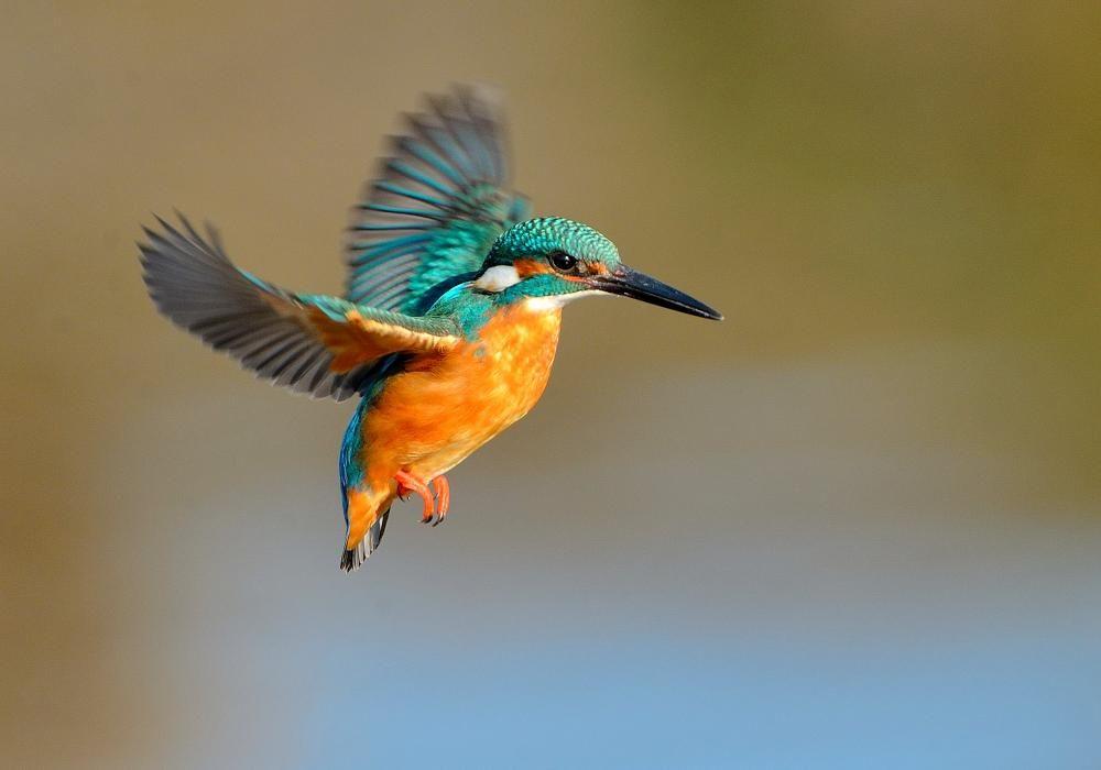 kingfisher pinterest vogel eisvogel und heimische v gel. Black Bedroom Furniture Sets. Home Design Ideas