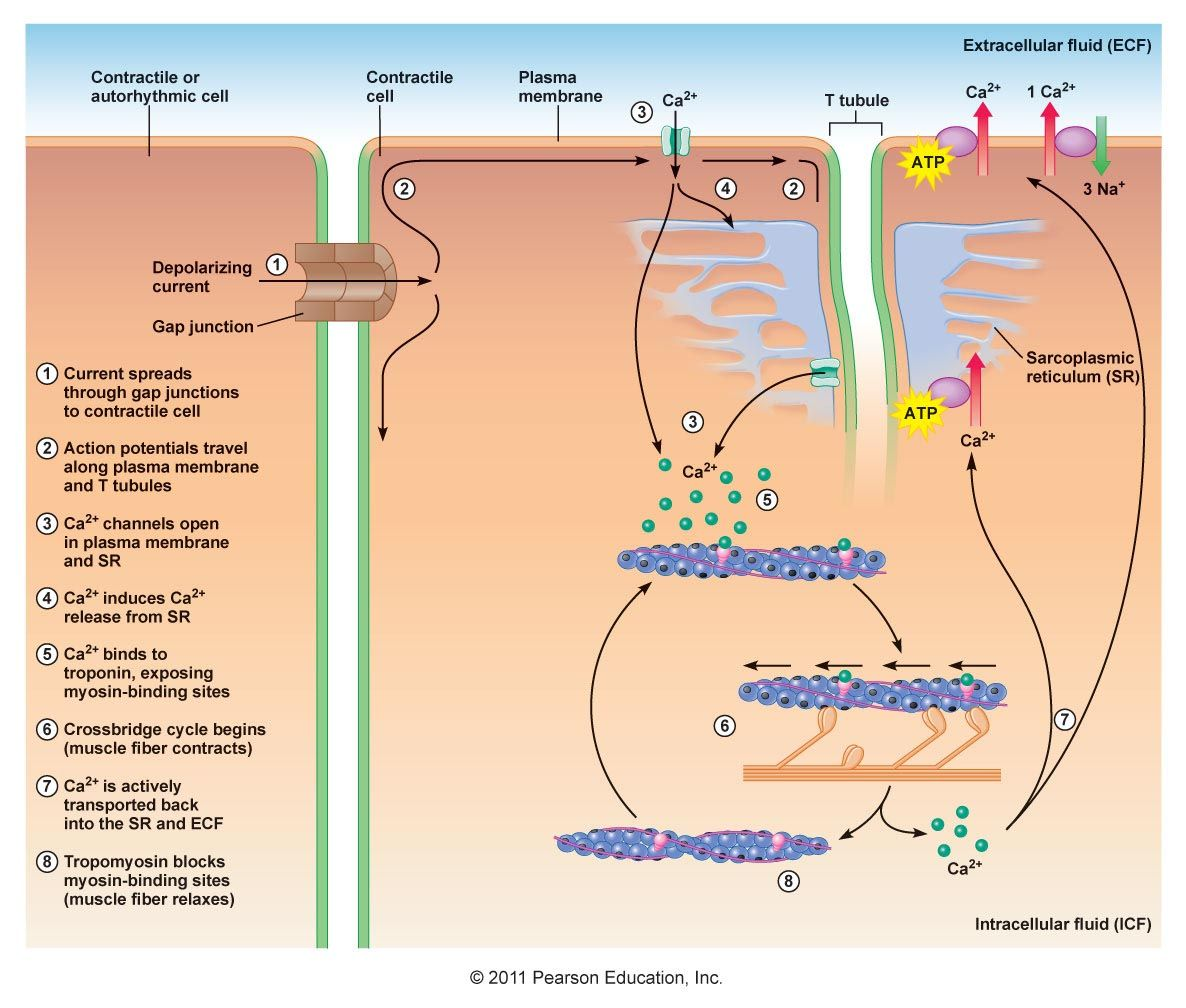 Cardiac muscle cell contraction (general) | Physiology | Pinterest ...