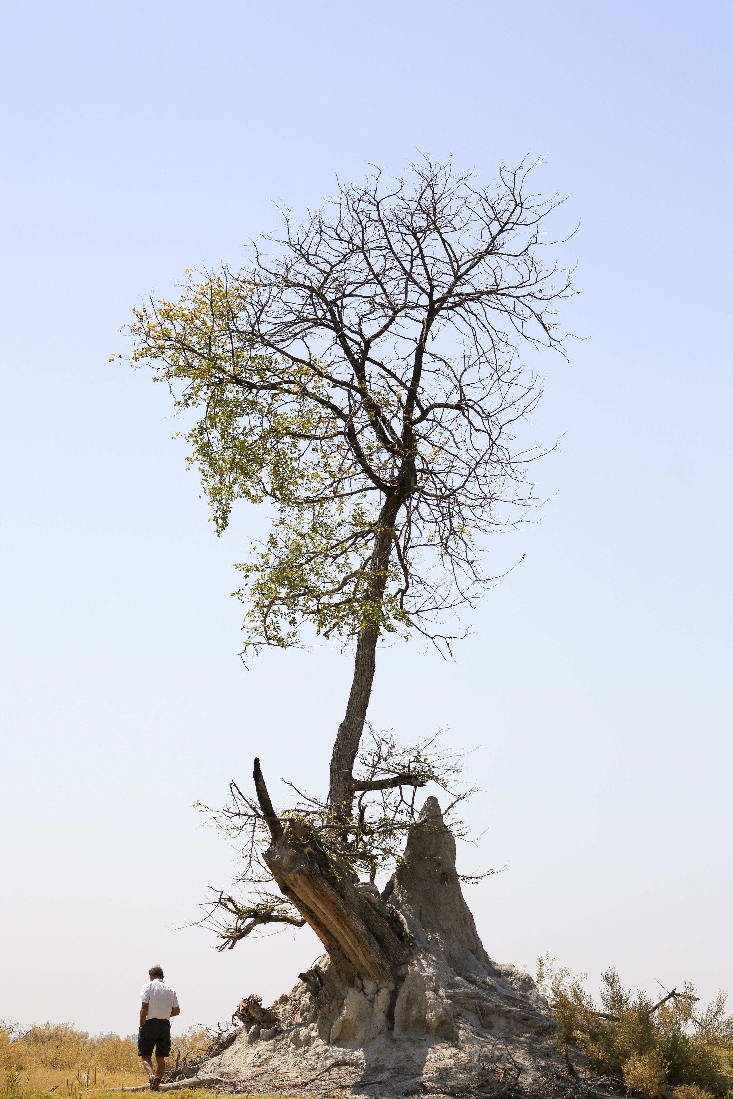 Half Dead Half Alive Tree On Top Of Termite Mound Moremi Game