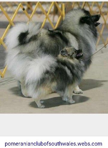 Size Comparison Keeshond Vs Pomeranian Keeshond Dog Keeshond