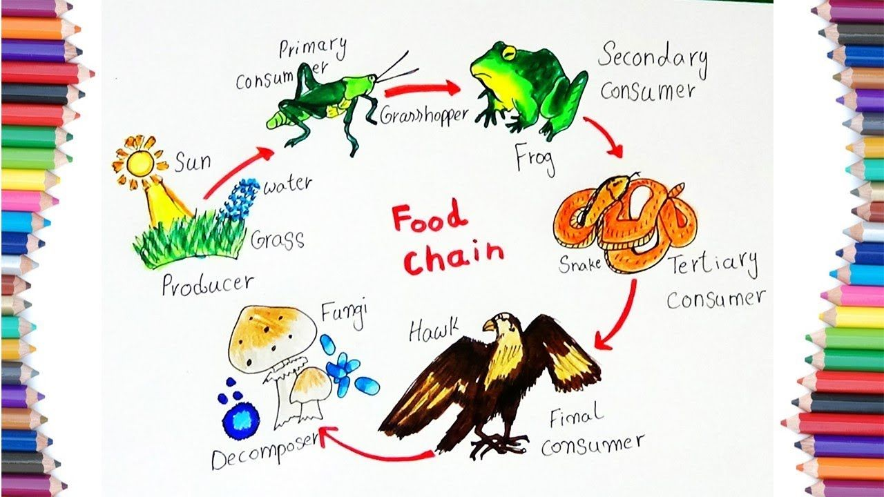 How To Draw Quot Food Chain Quot Diagram For Kids | Food chain diagram, Food  chain, Food drawingPinterest