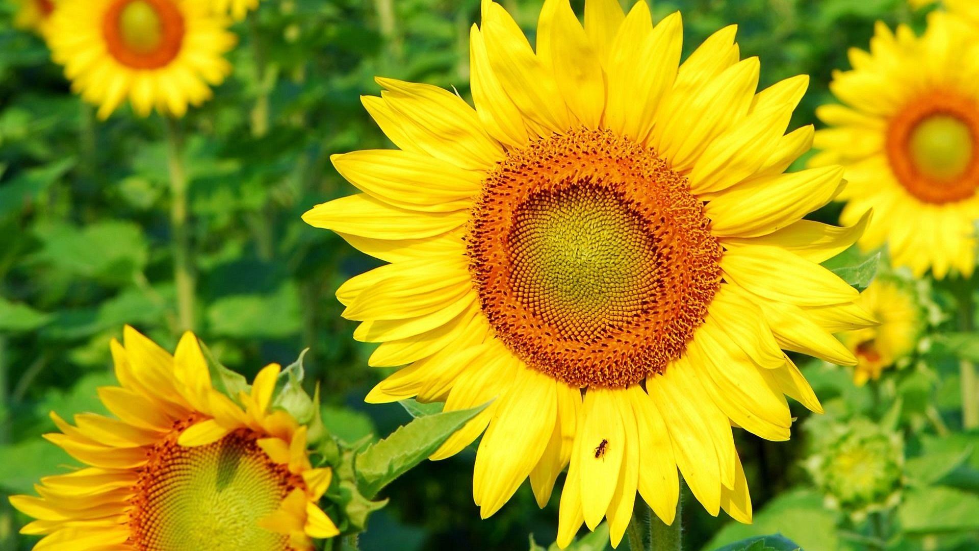 Sunflower Desktop Wallpapers THIS Wallpaper Картинки