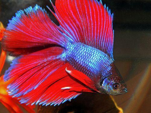 Halfmoon Double Tail Betta Betta Siamese Fighting Fish Pet Fish