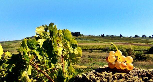 Today we harvest the tradition...Inzolia of Contrada Bertolino #cronovendemmia #settesoli #Inzolia #vendemmia2013 #vinobianco #winelovers #harvest #menfishire #sicily