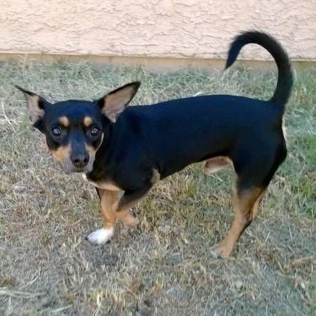 PHX FOUND Black Mix (NEC Cooper/Ray) Found dog last night
