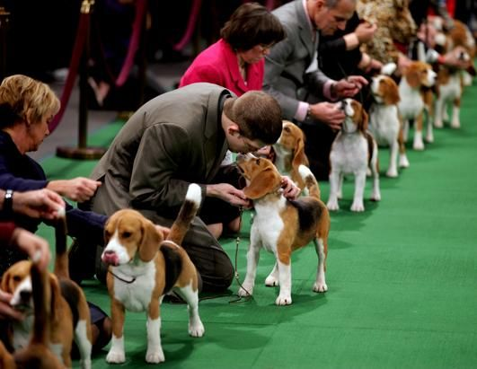 15 Inch Beagle As They Line Up In The Ring For Competition At The