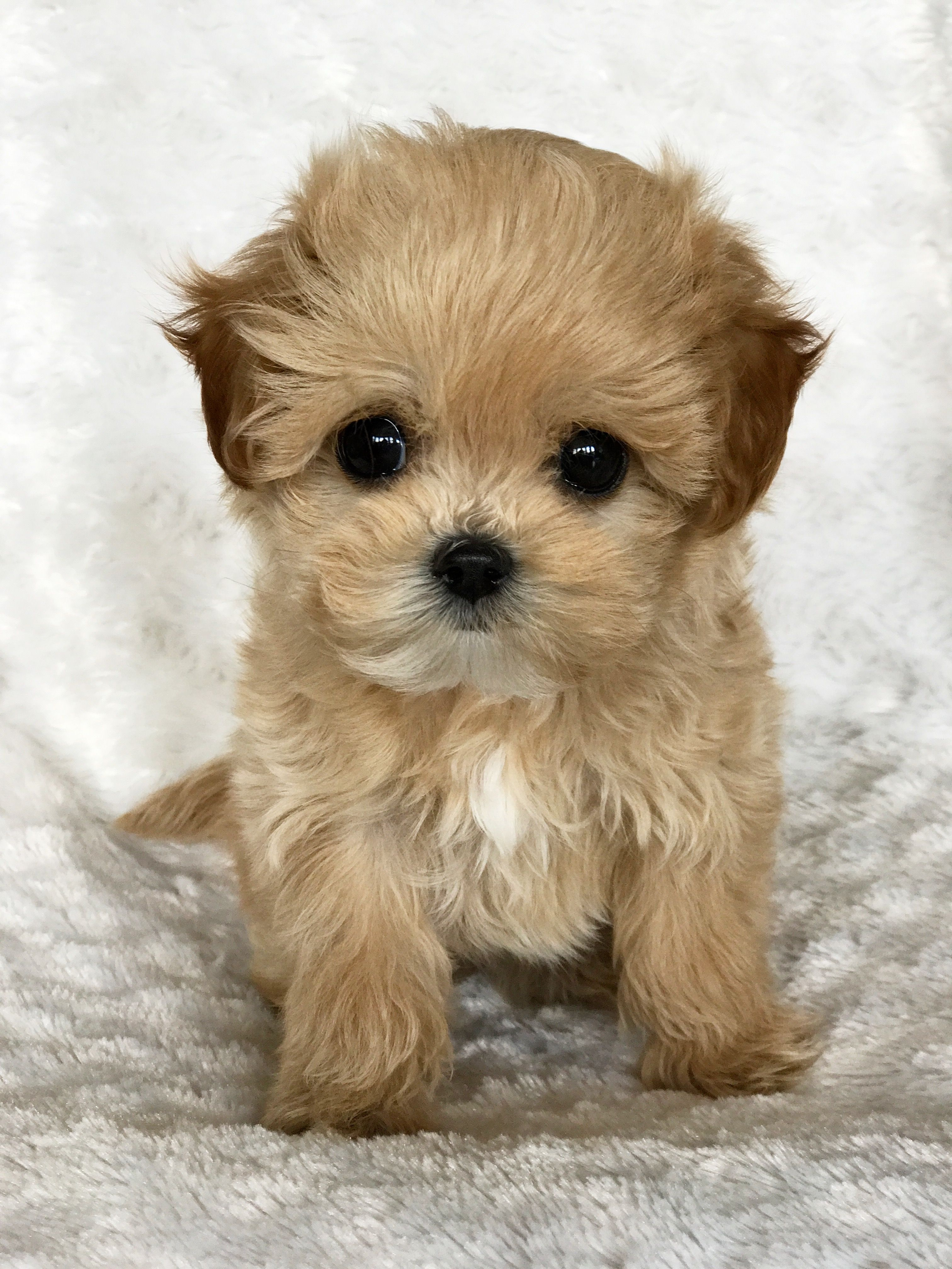 Pin by C. Graham on Cute baby animals Pomeranian puppy
