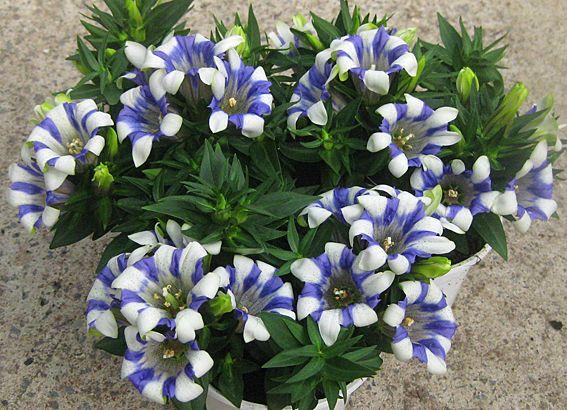 bildresultat f r gentiana scabra blue i ek diyar pinterest alpine plants plants and gardens. Black Bedroom Furniture Sets. Home Design Ideas