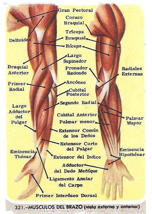 Estudar galera!!!!!! Músculos del brazo - Visión lateral y anterior ...