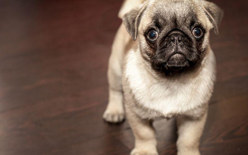 14 Best Puppy Foods In 2020 Cute Pug Puppies Puppy Biting Cute